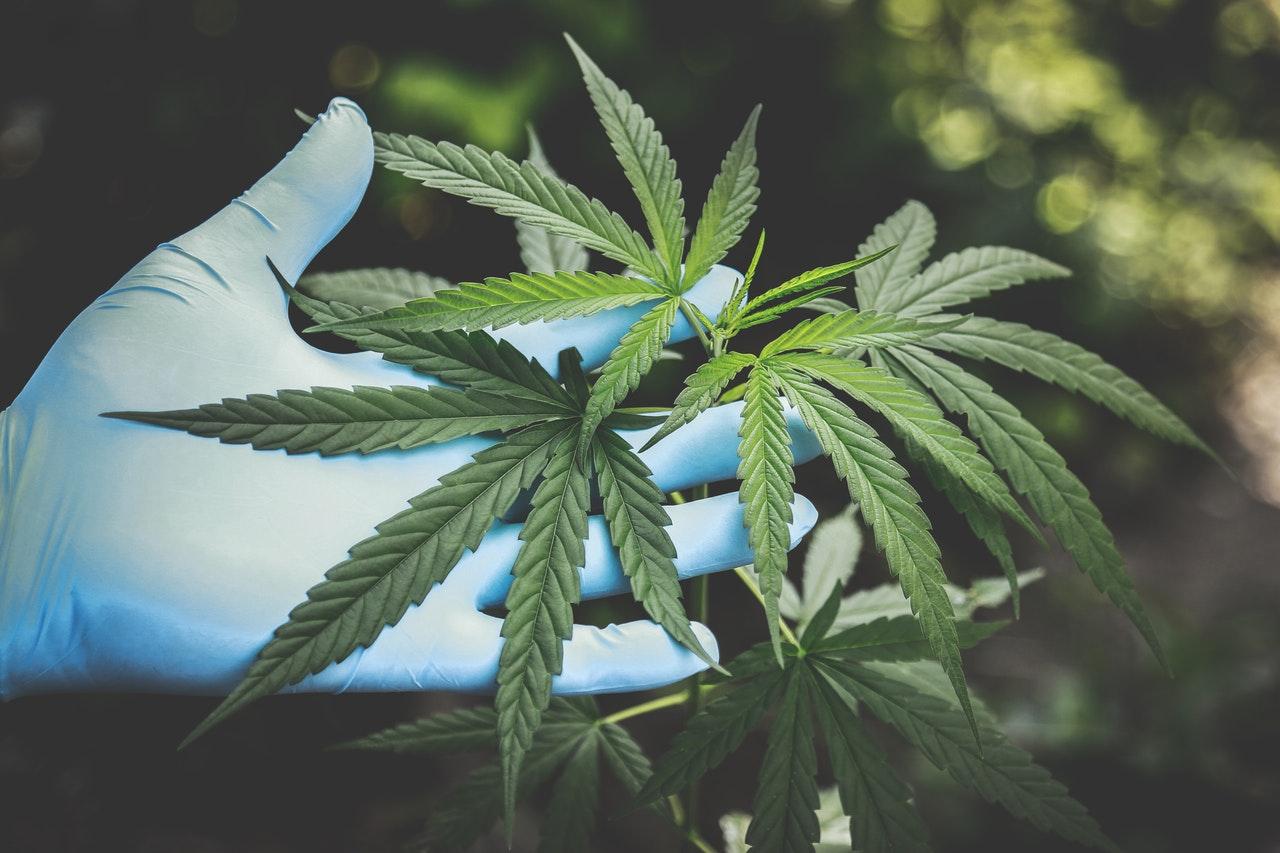 Die Grundlage von CBD-Produkten ist die Hanfpflanze.