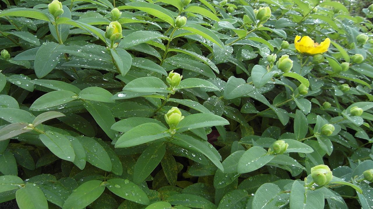 Der ideale Zeitpunkt für das Johanniskraut ist die Blütezeit um den Johannistag (24. Juni).